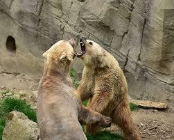 Save the Bears !